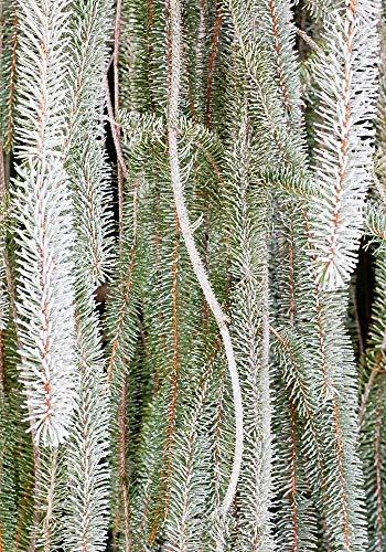 Hoar Frost on Fir - UW Arboretum, Madison, Wisconsin Photograph