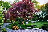 Japanese Red Maple Tree (1-2 feet Tall) Live Tree