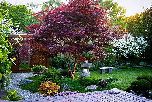 Japanese Red Maple Tree (2-3 feet Tall}
