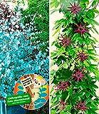 BALDUR Garten Winterharter Eukalyptus & Winterharte Passionsblume, 2 Pflanzen Eucalyptus und Passiflora -