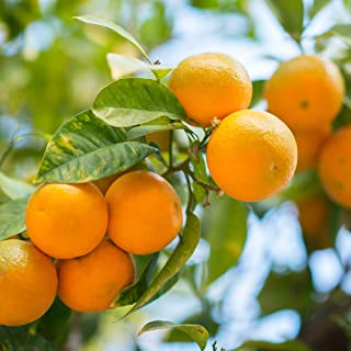 Van Zyverden Tangerine Citrus Tree Owari Satsuma