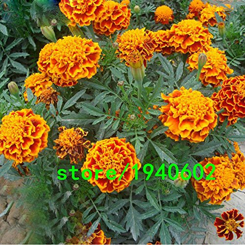 Hot Sale Rare Rouge Jaune Bord Maidenhair Graine Graines de fleurs en pot Herb Garden Marigold Chrysanthemum Bonsai Seeds 100 PCS