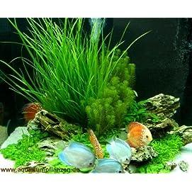 Mühlan 4 x Aquarienpflanzen, 8 x Wasserpflanzen im Bund