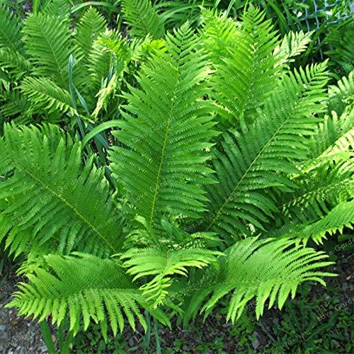 Sumpf Frische 100 Stück Farnpflanzensamen für das Pflanzen von Grün