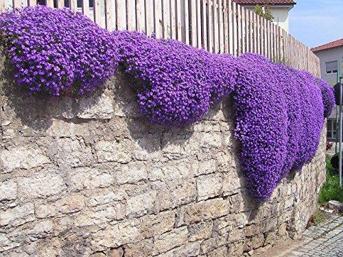 250 Aubrieta Seeds - Cascade Purple Flower Seeds, Perennial, Deer Resistant !