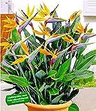 BALDUR-Garten Paradiesvogel-Blume Strelitzie