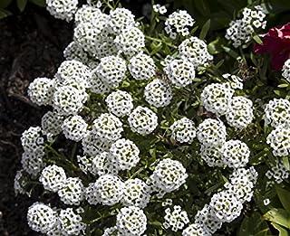 Sweet alyssum, sweet allison - white variety - seeds