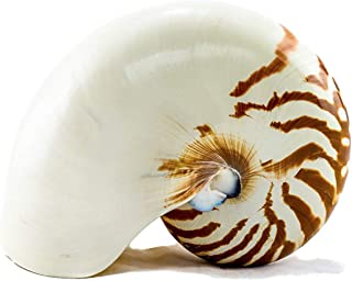 "Nautilus Shell | Natural Chambered Nautilus Seashell 4""-5"" 
