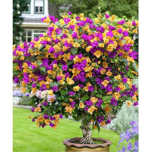 Semillas de buganvillas multicolores DIY hermosas semillas de plantas bonsai planta para el jardín del hogar plantación de patio decorativo
