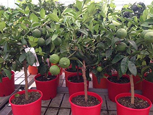Citronnier rouge Citrus limonia Rangpur orange