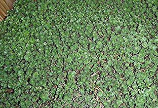 John Creech Sedum 72 Cell Plug Flat Groundcover Plants