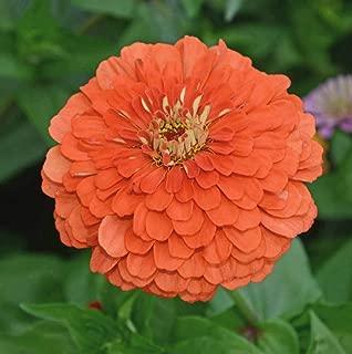 David's Garden Seeds Flower Zinnia Solid Color Coral Beauty SL9354 (Orange) 500 Non-GMO, Heirloom Seeds