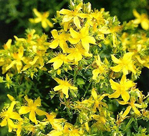 Johanniskraut Heilpflanze Staude Samen