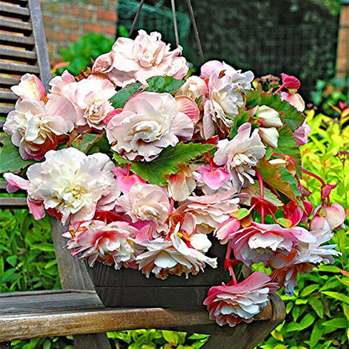 good01 100 Stücke Begonie Blumensamen Für Zu Hause Pflanzen | Gartentopf Bonsai Zier DIY Blumendekoration Begonie Samen