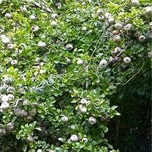 Gardenia Thunbergia Forest Tree Gardenia Seeds #US01 (50)