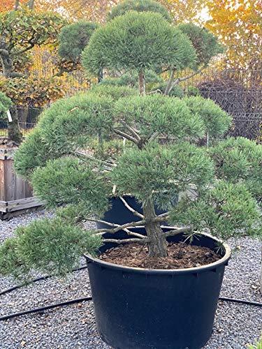 Produktbild Bonsai, Formpflanze, Gartenbonsai 'Pinus Norske Typ'
