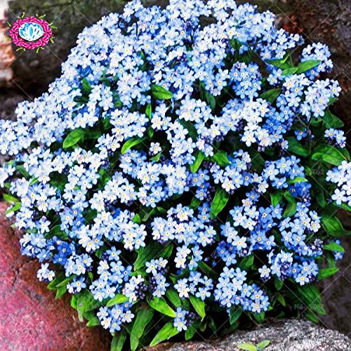 100pcs/bag Herbes Non Forget Me Graines Myosotis sylvatica Vivaces Fleurs Bonsai Nature fleurs fraîches Graines Accueil Plantes Jardin