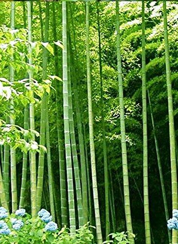 Asklepios-seeds® - 100 Samen Riesenbambus Bambusa arundinacea/bambos, schnellwüchsiger Bambus, Dendrocalamus