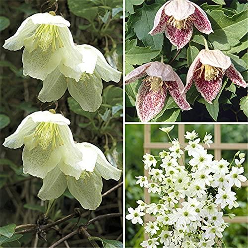 Blumen Hausgarten Starke Zwiebeln Balkon Duftende Topf Staude Angenehm-5Clematis Rhizome