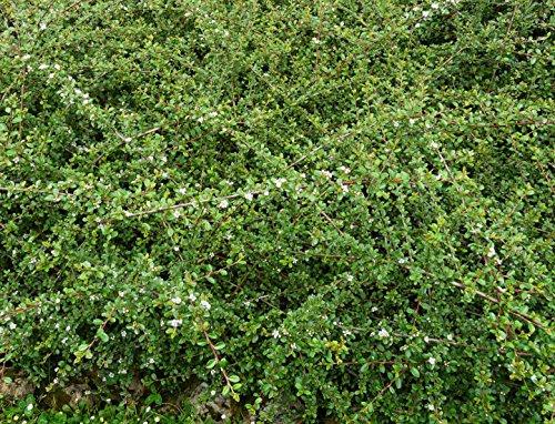 Cotoneaster dammeri radicans Kriechmispel immergrüner Bodendecker im Topf gewachsen (50 Stück)