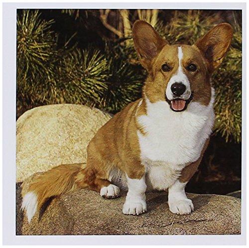 3dRose Purebred Cardigan Welsh Corgi Dog on Rock NA02 PWO0023 PiperAnne Worcester Greeting Cards, Set of 6 (gc_140281_1)