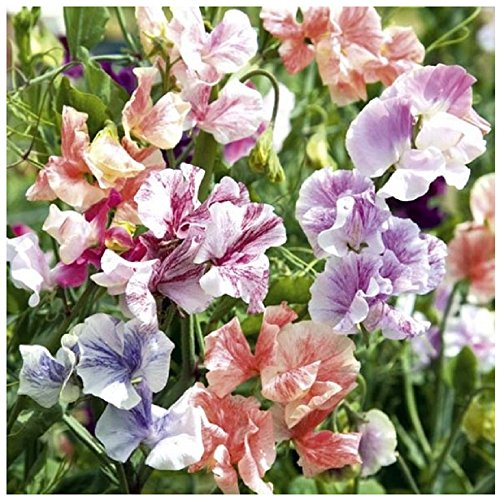 Lot de 10 graines de Pois de senteur odorant - Ripple Mix - Plante annuelle