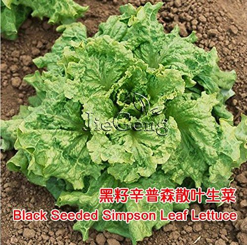 Noir ensemencée Simpson Laitue frisée Seed * Feuille de salade * organique non-OGM * Lactuca Sativa * * Seed salade de légumes