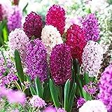 15x Hyacinthus orientalis 'Velvet Mix' | Bulbes de Jacinthes d'Orient | Mélange de couleurs | Plantes fleuries vivaces | Ø 14-15cm