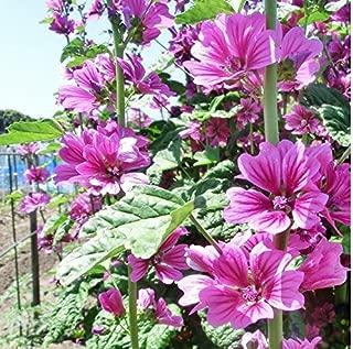 30+ Seeds of Malva sylvestris - French Hollyhock 'Zebrina'. Edible & Striking striped blooms!