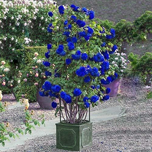 Zhouba Kletterrosensamen für Gartenpflanzen, 300 Stück, blaue Kletterrosen, Blumen, mehrjährig, Garten, Hof, Zaundekoration