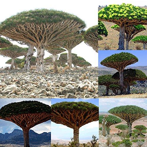 good01 10 Pezzi Dragon Blood Tree Piante Semi Piante da Giardino Giganti Piante Bonsai in Vaso Decorative