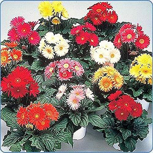Gerbera Festival Series Mix Grower Select Annual Seeds