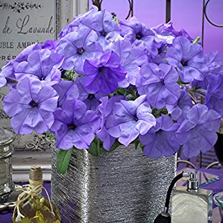 Park Seed Evening Scentsation Petunia Seeds