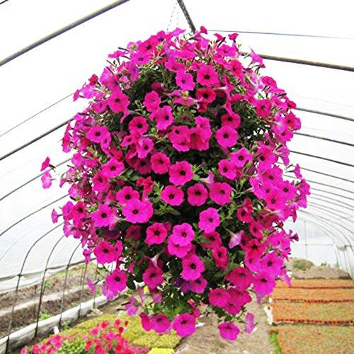 ValianhAgen Morning Glory Samen, hängende Petunie, Haus, Garten, Topfblumen, Ornament, 50 Stück