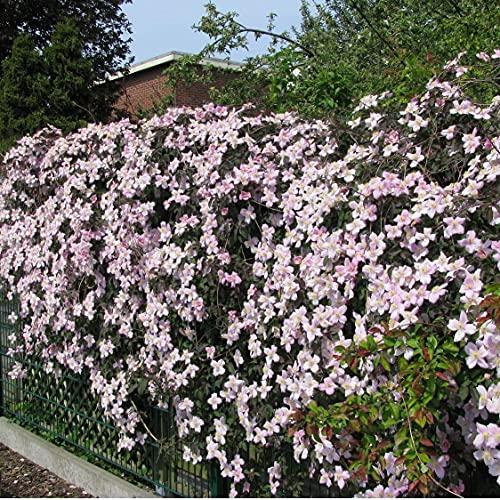 3 x Clematis Montana Rubens (Waldreben) Kletterpflanzen: 3 kaufen/2 bezahlen   rosa - ClematisOnline
