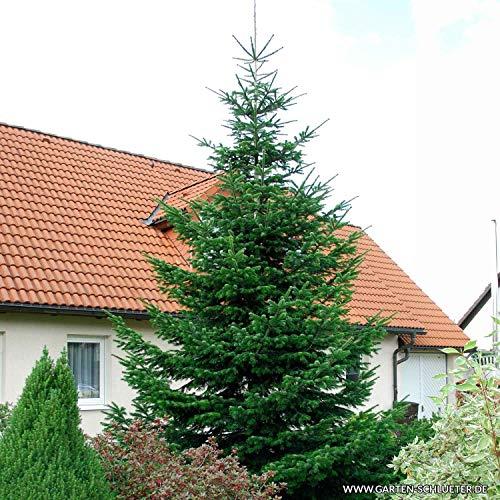 Nordmann-Tanne - Abies nordmanniana – Weihnachtsbaum Tannenbaum Topf-Pflanze Immergrün Winterhart – Tannen von Garten Schlüter - Pflanzen in Top Qualität