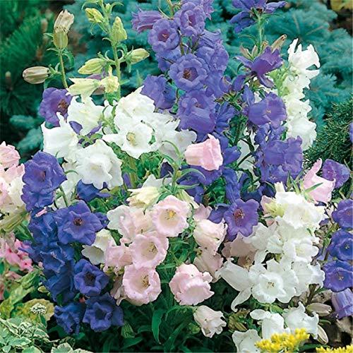 XINDUO Lange Blütezeit winterhart,Begrünung Campanula Blumensamen-300 Kapseln_Blau,Samen saatgut winterhart mehrjährig
