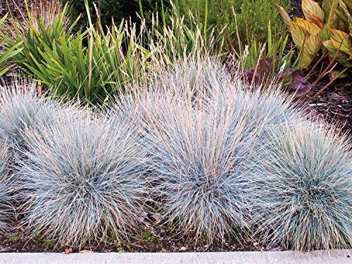 Blauschwingel Elijah Blue Festuca cinerea - winterhart immergrün Bodendecker mehrjährig - Ziergras von Garten Schlüter - Pflanzen in Top Qualität
