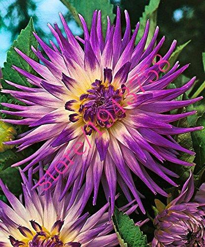20 pcs fleurs True dahlia graines de dahlia (pas les bulbes de dahlia), et chanceux symbolise le courage, graines de fleurs bonsaï vivaces jardin à la maison 15