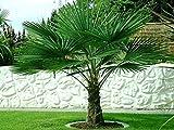 Hanfpalme Trachycarpus fortunei - Hanf Palmen Samen 20 Stück / Pack - Palmensamen - Winterhart bis -17 °C die frosthärteste Palmen weltweit