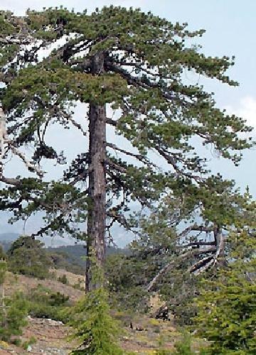 TROPICA - Pino negro de Alaska (Pinus nigra) - 50 semillas- Resistente invierno
