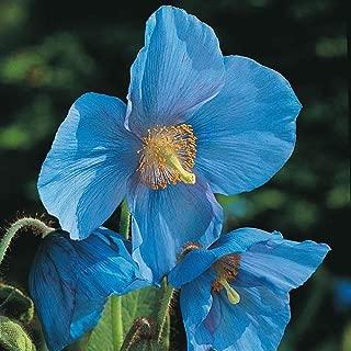50 Meconopsis Seeds Grandis Blue Poppy Seeds Mb003
