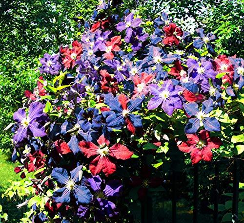 300 Pcs Mixed Clematis Seeds Flowers Vine Perennial Flower Garden Decor