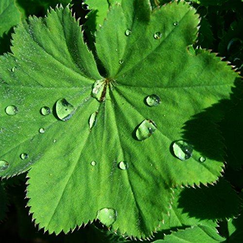 Blumixx Stauden Alchemilla mollis - Weicher Frauenmantel, im 0,5 Liter Topf, gelbgrün blühend