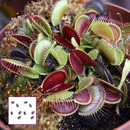Semillas de Garretlin, 10 unidades de semillas sectivoras en maceta Dionaea gigante Clip Flytrap Planta Carnívora Semillas frescas de calidad