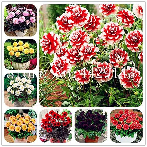 prime vista 100 Teile/Beutel Dahlie Bonsai Heirloom Topf Dahlie Blume, Bonsai Pflanze für Hausgarten DIY Topfpflanze: gemischt