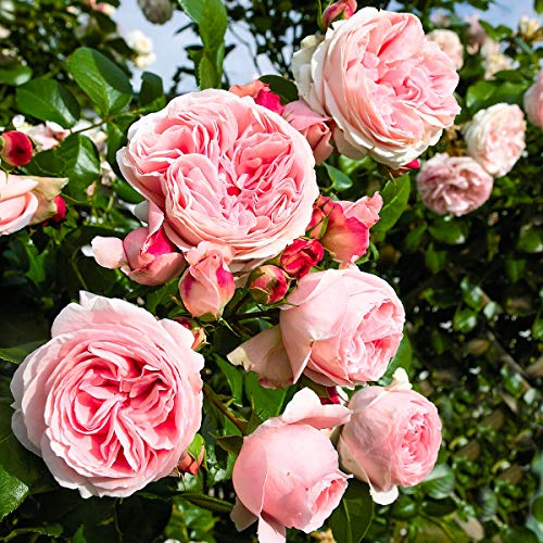 Qulista Samenhaus - 30pcs Rarität Kletterrose Giardina, XL-Qualität, Ideale Rank- und Strauchrose Blumensamen Kletterpflanzen rosa winterhart mehrjährig
