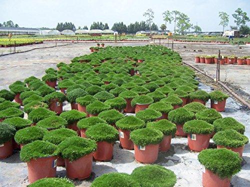 New Irish Moss Seeds, Sagina Subulata,Perennial Groundcover Flowers Seed 100+ seeds