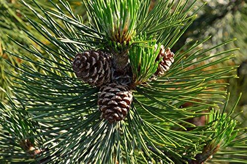 Schlangenhautkiefer Pinus leucodermis 70 Samen