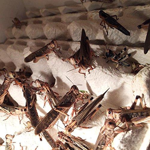 Terra-Discount Großpackung Wanderheuschrecken groß ca.100 Stück - Futterinsekten, Futtertiere